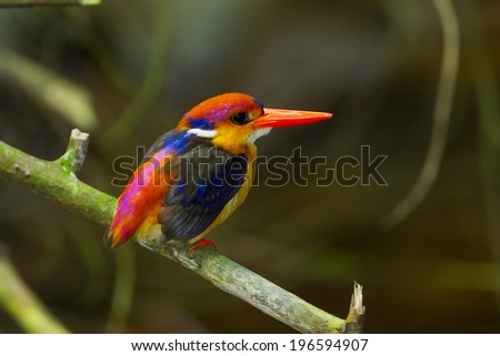 Dwarf Kingfisher (Ceyx erithaca) on the branch in nature at Kengkrajarn national park,Thailand