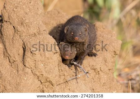 Dwarf mongoose family enjoy the safety of their burrow - stock photo