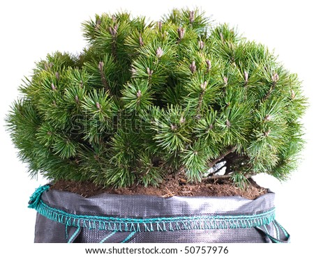 dwarf mountain pine in a pot isolated on a white background - stock photo