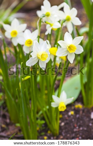 Dwarf narcissi  ??Jack Snipes is an extra early variety of narcissus.
