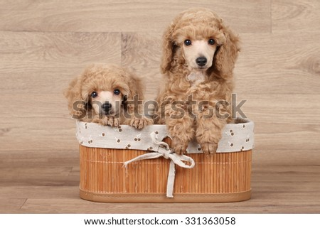 Dwarf poodle puppies in basket on wooden background - stock photo