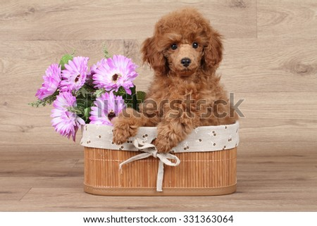 Dwarf poodle puppy in basket with flower on wooden background - stock photo