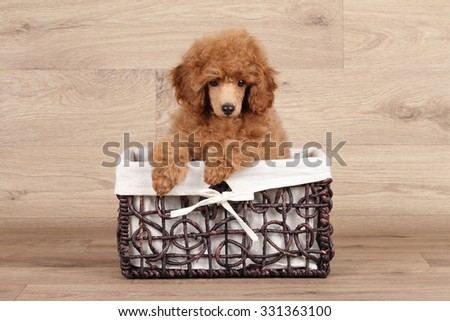 Dwarf poodle puppy in wicker basket on wood texture background - stock photo