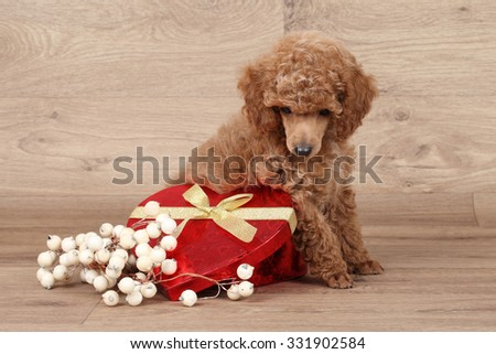 Dwarf poodle puppy with red heart sits on wooden background - stock photo