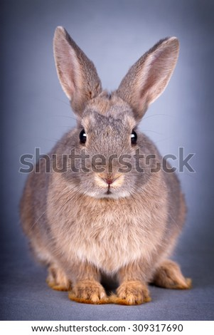 dwarf rabbit - stock photo