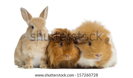 Dwarf rabbit and Guinea Pigs, isolated on white - stock photo