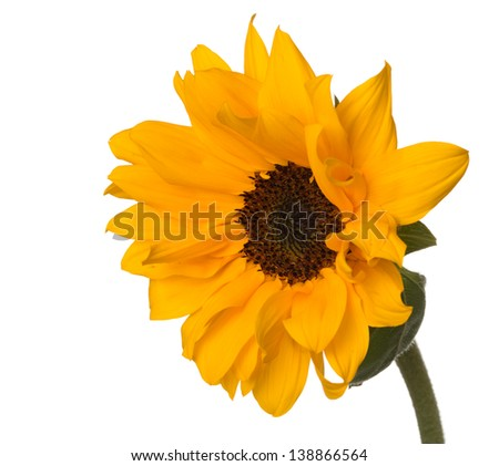 Dwarf sunflower (Helianthus annuus) with pollen-free golden orange petaled flowers with deep brown faces, typically grown in a pot - stock photo