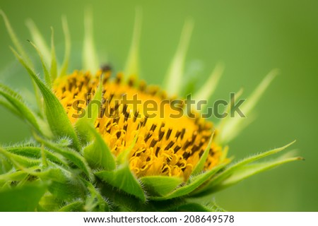 Dwarf Sunflower or Helianthus annuus L. Dwarf Sungold in the garden - stock photo
