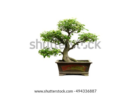 dwarf trees on white background in public garden.
