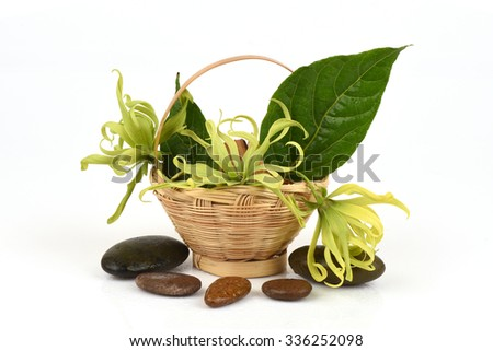 Dwarf Ylang-Ylang, Ilang.-Ilang, (Cananga fruticosa) flower native of Thailand, aromatic and medicinal properties.