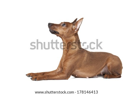 dwarfs pinscher on white background