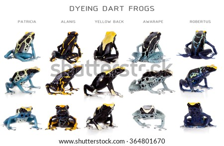 Dyeing poison dart frogs set, Dendrobates tinctorius, isolated on white background - stock photo