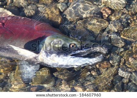 Dying Sockeye Salmon - stock photo