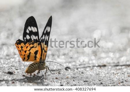 Dysphania militaris moth - stock photo