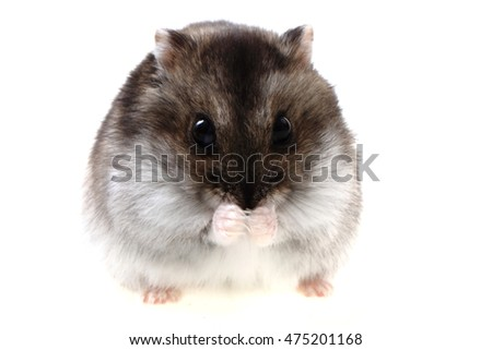 dzungarian hamster isolated on the white background