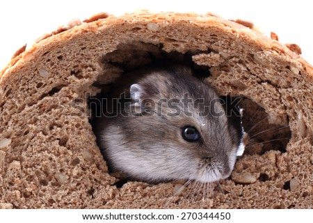 dzungarian mouse and the bread isolated on the white background - stock photo