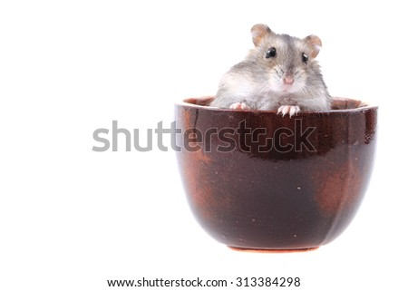 dzungarian mouse isolated on the white background - stock photo