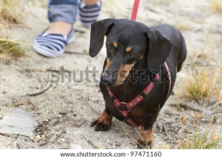 Eager Dachshund dog breed taking a walk in the park - stock photo