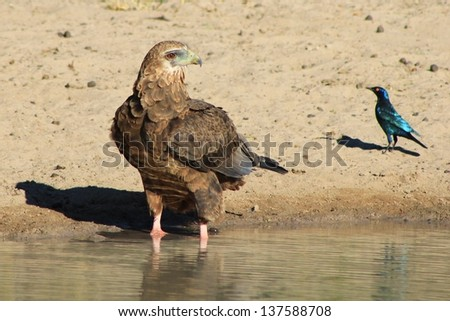 Eagle, Bateleur Young - Wild Birds from Africa - A glorious moment of peace as predator and prey share a watering hole.  A Starling and Eagle have a stare down.