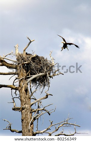 Eagle bringing fish to baby eagles - stock photo