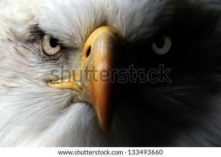 Eagle Close Up Portrait - stock photo
