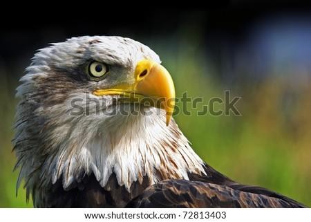 Eagle close up portrait - stock photo