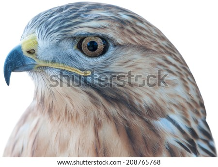 Eagle closeup - isolated on white background