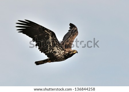 eagle flying in the sky - stock photo