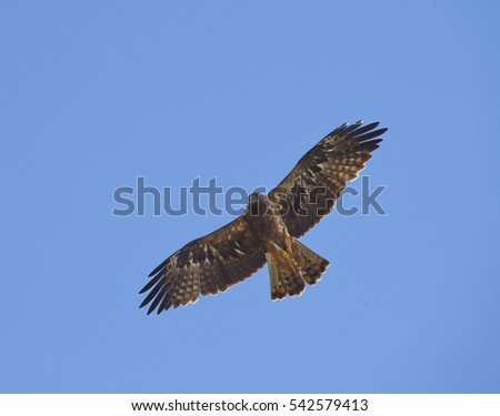 Eagle flying on the blue sky