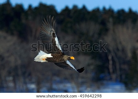Eagle flying with dark forest. Beautiful Steller's sea eagle, Haliaeetus pelagicus, flying bird of prey, with winter forest in background, Hokkaido Japan. Wildlife action behaviour scene from nature.  - stock photo