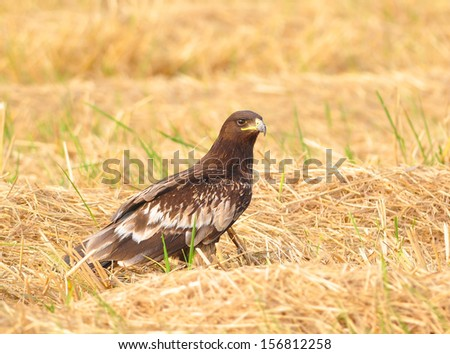 Eagle (Greater Spotted Eagle) standing elegant rice fields. - stock photo