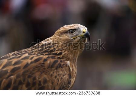 Eagle head harris - stock photo