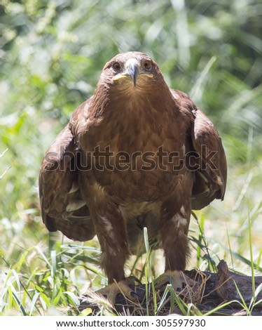 eagle in a park on the nature - stock photo