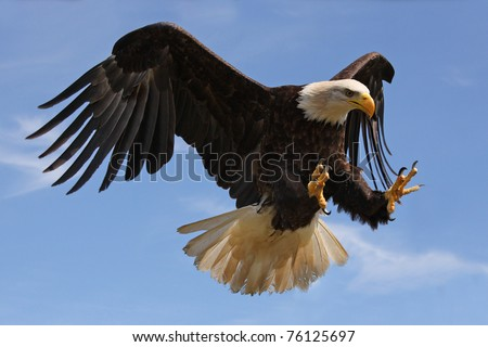 Eagle in Flight - stock photo