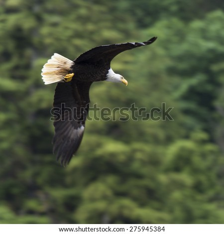 Eagle in flight, Skeena-Queen Charlotte Regional District, Haida Gwaii, Graham Island, British Columbia, Canada