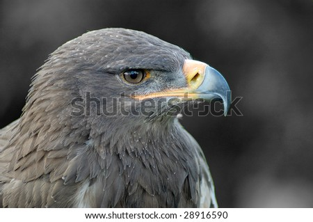 Eagle in grey