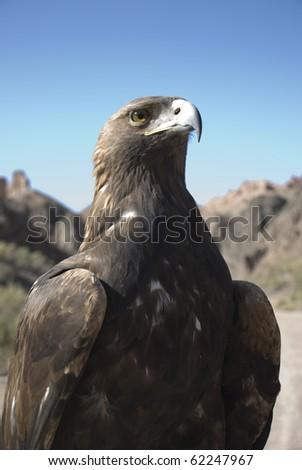 Eagle in mountains of Kazakhstan - stock photo