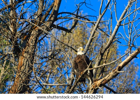 eagle in the cottonwoods - stock photo