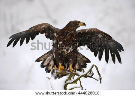 Eagle in the snow winter. Cold winter action scene with bird of prey. White-tailed Eagle, Haliaeetus albicilla, bird of prey with catch fish in snowy winter scene, animal in snow with ice, Norway - stock photo