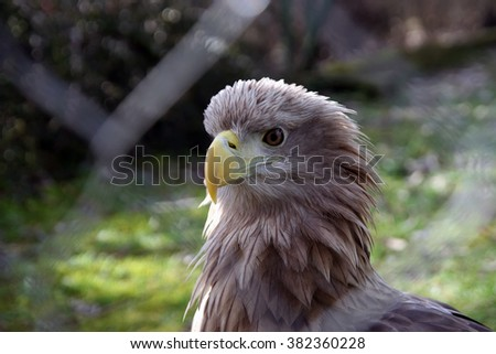 Eagle in the Zoo park cage. - stock photo