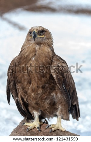 Eagle, is sitting on a stone, winter season