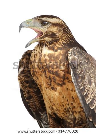 eagle isolated - stock photo