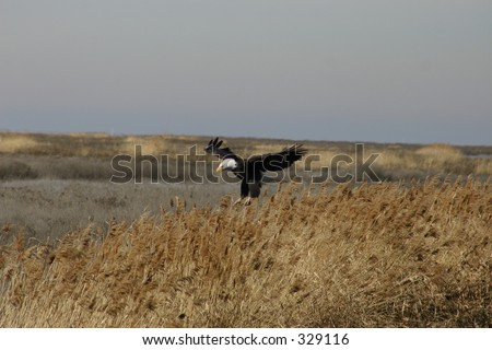 Eagle landing at Farmington Bay - stock photo