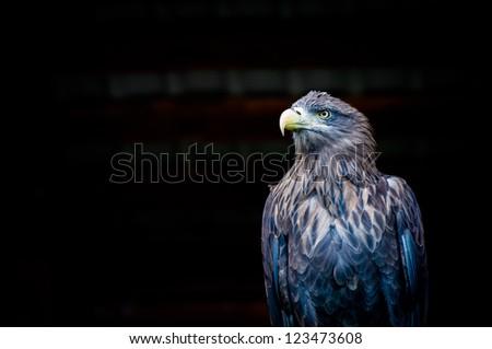 Eagle on the black background - stock photo