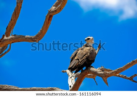 eagle on tree in africa s wilderness