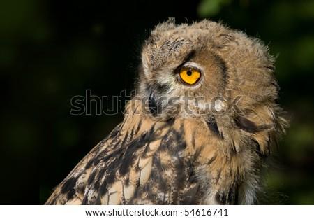 eagle-owl - stock photo