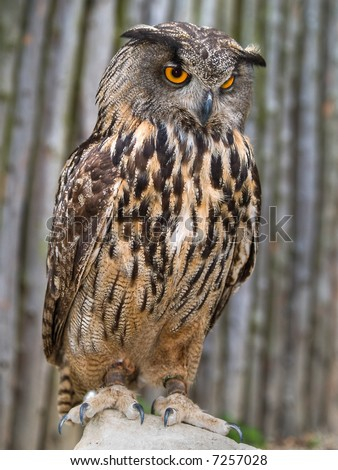 Eagle Owl - stock photo