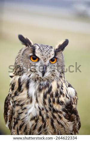 Eagle Owl/An eagle owl - stock photo