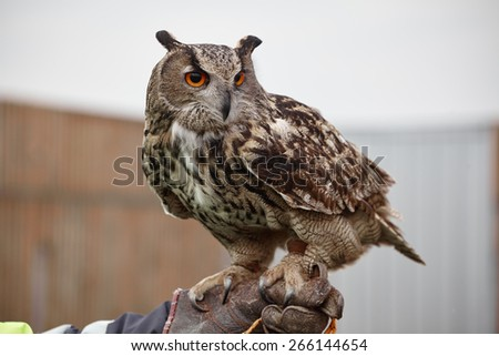 Eagle Owl/An eagle owl - stock photo