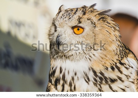 eagle owl, detail of head, lovely plumage - stock photo